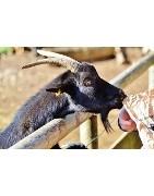 Comederos y bebederos para cabras y ovejas