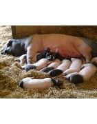 Productos para el manejo de cerdos
